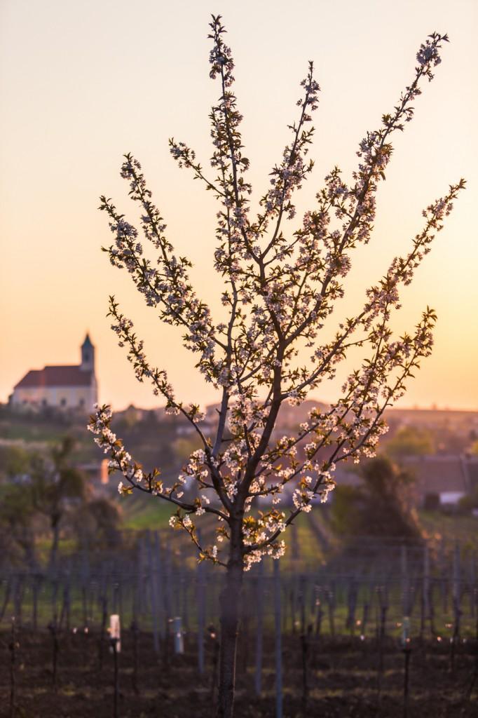 Kirschblüte_Jois_0007